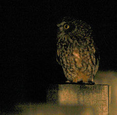A Tasmanian boobook owl spotted at Cape Liptrap, Saturday night, October 31. Photo by Pauline Wilkinson