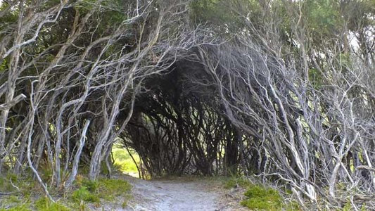 Tea-tree tunnel. Photo by Simon Chipper