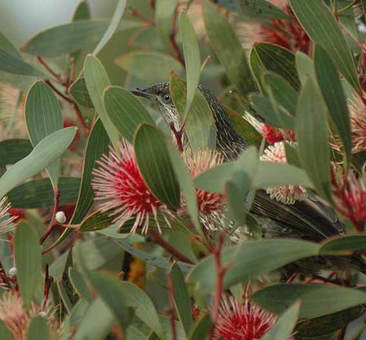 Honeyeater in hakea. Photo: Catherine Watson